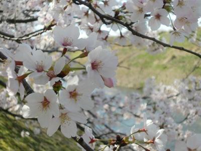 20090410sakura02.jpg