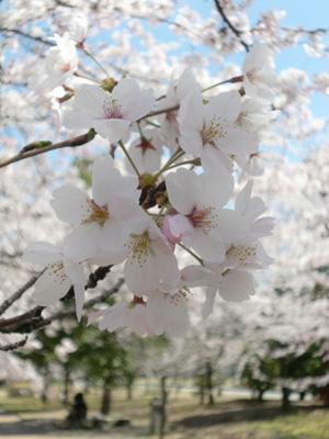 20090410sakura03.jpg