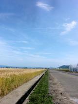 坂井平野の麦畑